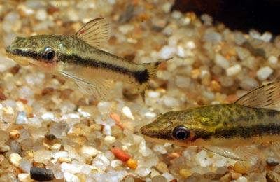 Otocinclus vittatus und Otocinclus macrospilus