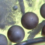 Artemia salina Eier