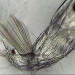 Chaoborus crystallinus